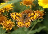 Motyl lasiommata megera na ścianie — Zdjęcie stockowe