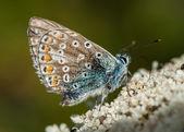 Azuré bleu commun icarus — Photo