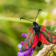 Burnet moth — Stock Photo