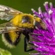 False bumble bee — Stock fotografie