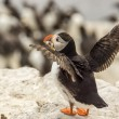 Atlantic puffin fratercula arctica — Stock Photo #30416265
