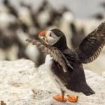 lunnefågel fratercula arctica — Stockfoto