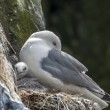 Kittiwake With Chick — Stock Photo