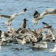 Seabirds Feeding Frenzy On Sand Eels — Stock Photo