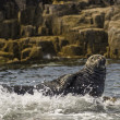 ������, ������: Grey Seal Gray Seal Halichoerus