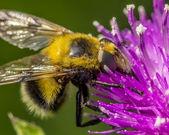 False bumble bee — Stock Photo