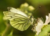Large White pieris brassicae — Stock Photo