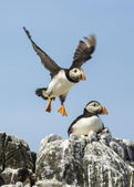 Atlantic puffin fratercula arctica — Stock Photo