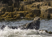 Grey Seal Gray Seal Halichoerus — Stock Photo