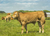Limousin Cow — Stock Photo
