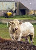 White Charolais Stud Bull — Stock Photo