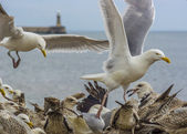 Flock Of Seagulls Feeding — Stock Photo