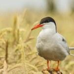 Arctic Tern sterna paradisaea — Stock Photo
