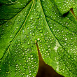 Morning Dew Drops On Leaves  — Foto Stock