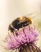 Fly Of A Thistle Flower — Stock Photo