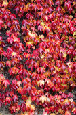 Red ivy Background — Stock Photo