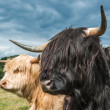 Highland Cattle — Stock Photo #36233059