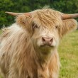 Highland Cattle — Stock Photo #36233089