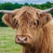 Highland Cattle — Stock Photo #36233437