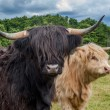 Highland Cattle — Stock Photo #36233677