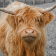 Highland Cattle — Stock Photo #36233809