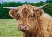 Highland Cattle — Zdjęcie stockowe