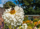 Summer Garden With Bumble Bee On A White Chrysanthemum — Stock Photo