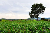 Green field with a big tree — Foto Stock