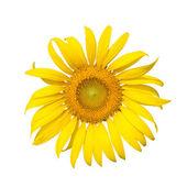 Flor del sol en flor — Foto de Stock