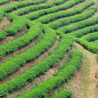 Tea plantation fields — Stock Photo