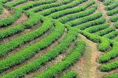 Tea plantation fields — Stock Photo