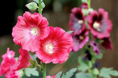 Red hollyhock flower — Stock Photo