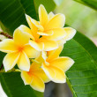 Stock Photo: Tropical Plumeria, Frangipani flowers