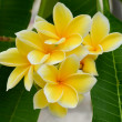 Tropical Plumeria, Frangipani flowers — Stock Photo #26244339