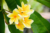 Tropical Plumeria, Frangipani flowers — Stock Photo