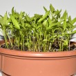 Chilli seedlings — Foto Stock