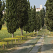 Avenue of cypresses — Stock Photo