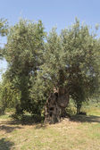 The old olive tree 2 — Stock Photo