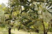 Olive, the fruit — Stock Photo