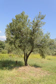 Young olive tree — Stock Photo