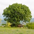 Stock Photo: Fig tree on roof