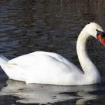 Постер, плакат: The white swan 2