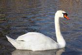 O cisne branco — Foto Stock