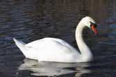 The white swan 2 — Stockfoto