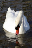 The white swan 3 — Stockfoto