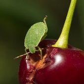 Green bug — Stock Photo
