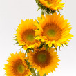 Stock Photo: Sun flower