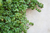 A ivy on a wall — Stockfoto