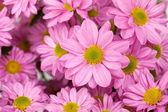 цветок фиолетовый хризантема — Стоковое фото