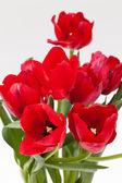 Red tulip — Stock Photo
